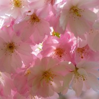 japanese-cherry-trees-6344__340