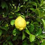 citron-272612__340